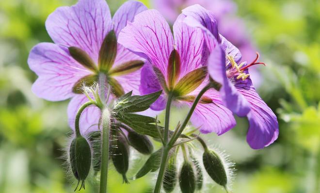 Blühende Schattenpflanze Storchenschnabel