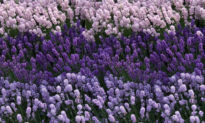 Lavendel anpflanzen