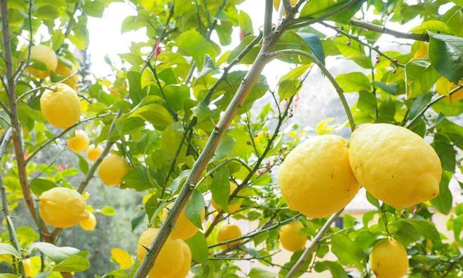 Zitronenbaum mit Zitronen