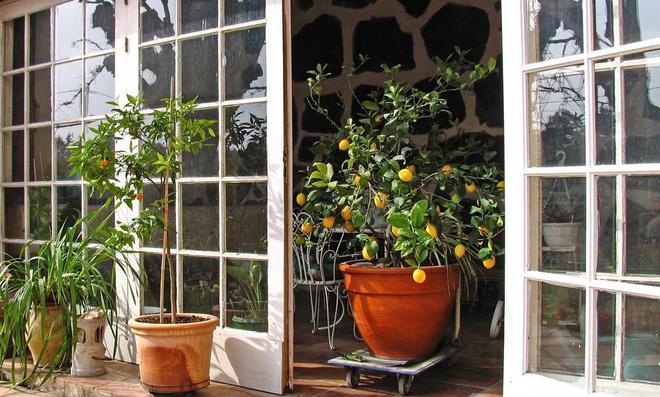 Zitronenbaum wird auch Rollbrett nins Winterquartier gebracht